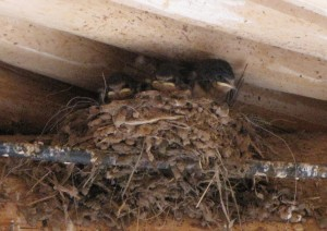 On our lunch break watching swallow chicks.
