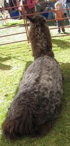 Shaggy llama.