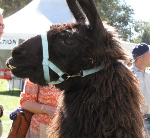 Here's a handsome llama.