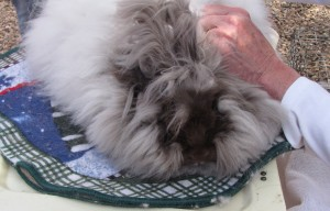 The de-fuzzing of an angora rabbit by Rio Fernando Farm.
